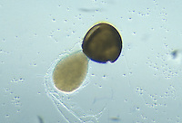Brine shrimp egg hatching (Artemia). LM X30