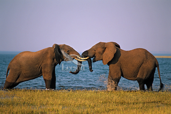 Two African Elephant bulls sparring (Loxodonta Africana) Africa.