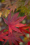 Red Japanese Maple leaves and leaves  fine art, environmental, nature, ecology, ecosystem, environmentalism,    ©2012. Jim Bryant Photo. ALL RIGHTS RESERVED.