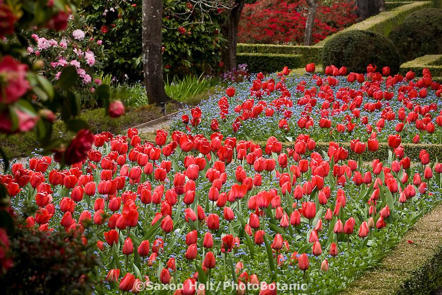 Red spring tulips (Darwin hybrid Tulipa 'Red Impression') in formal garden beds at Filoli estate garden, California