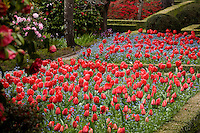 Red spring tulips (Darwin hybrid Tulipa 'Red Impression') in formal garden beds at Filoli estate garden, California