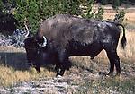 bison after rolling in  dust in Upper Geyser Basin