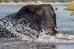 African elephant bull splashing in the Chobe while crossing the river (Loxodonta africana), Chobe national park, Botswana, Africa, October 2014