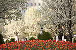 Tulips and flowering trees at Millennium Park, Chicago, IL, USA