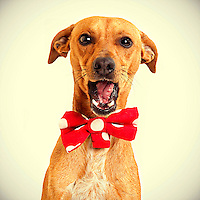 A miniature pinscher mix smiles while having his photo taken at the Sacramento city animal shelter.