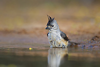 582060033 a wild black-crested titmouse baeolophus atricristatus bathes in a small pond on santa clara ranch starr county texas united states