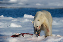 FRESH KILL &ndash; Polar bear (Ursus maritimus) in Svalbard