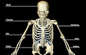 A superior anterior view of the bones of the upper body. Royalty Free
