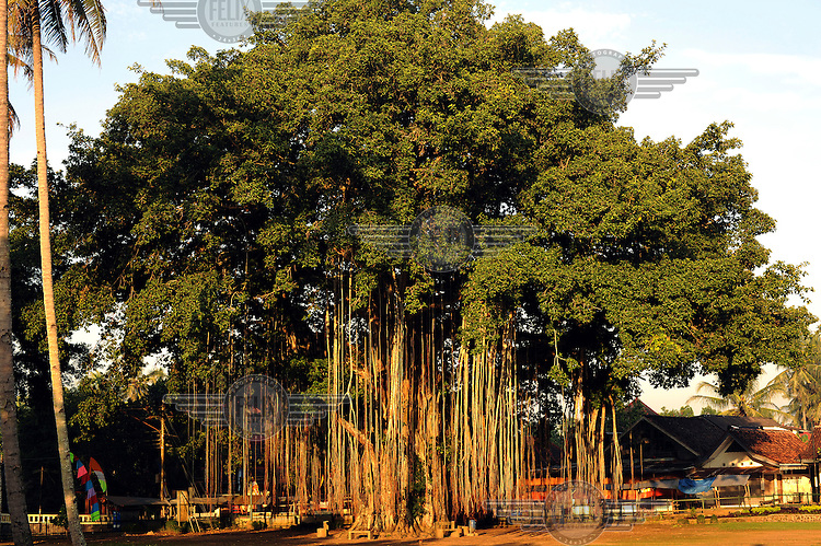 A huge and ancient banyan tree, a species of fig, of the variety beneath which Buddha is said to have received enlightenment.