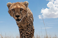 Cheetah adolescent watching curiously, wide angle view (Acinonyx jubatus), Masai Mara, Kenya.