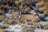 Mule deer buck during the rut in Southwest Wyoming