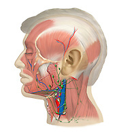 Biomedical illustration of the lymphatic system of the head and neck.