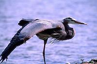 Great Blue Heron (Ardea herodias) stretching Wing beside Lake