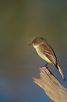 571018013 a wild adult eastern phoebe sayorais phoebe perches on a log over a small pond on a private ranch in the rio grande valley of south texas