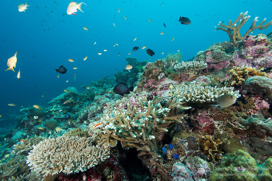 Malapascua Island, Cebu, Philippines; Anthias and reef fish swimming above hard corals at the top of a wall at Calanggaman Island