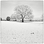 Oak tree in field covered in snow during English winter