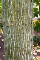 Acer pennsylvanicum White Tigress maple tree trunk striped green and white bark