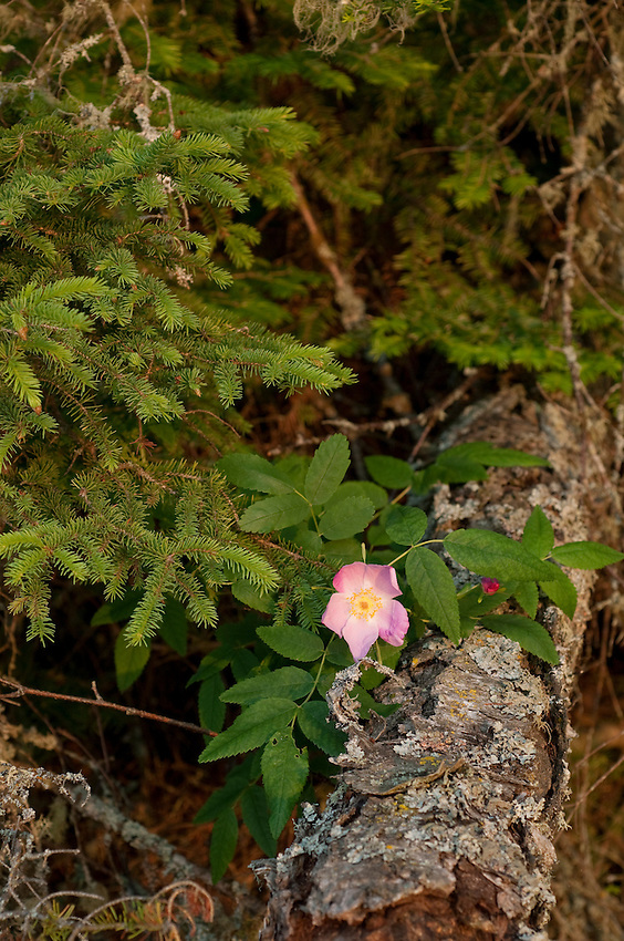Wild Roses at Isle Royale National Park.