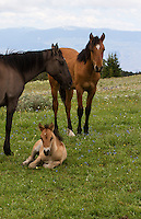 This is a family portrait. The grulla mare is Garciana with her two off spring. Naolin is the same filly shown in the 2013 gallery as a foal. She is a yearling now and Garciana's new foal is called O Dakota.