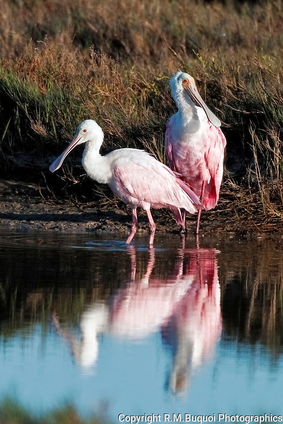 Roseate Spoonbills with reflection in water