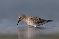 White-rumped Sandpiper (Calidris fuscicollis), East Pond, Jamaica Bay Wildlife Refuge