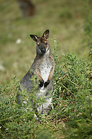 Bennett's Wallaby or Red-necked Wallaby (Macropus rufogriseus), Australia.