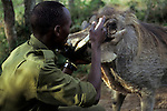 Africa, Kenya, Nanyuki. A keeper examines the warthog tusks at Sweetwaters Game Reserve.