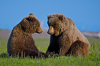 Two Alaskan Coastal Brown Bears sit facing each other in their new spring coats, Lake Clark National Park, Alaska.