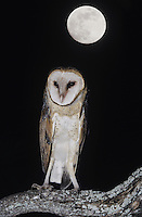 Barn Owl (Tyto alba),adult at night with full moon, Starr County, Rio Grande Valley, Texas, USA