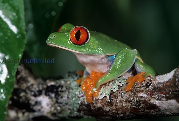 A Red Eyed Treefrog ,Agalychnis callidryas, Costa Rica