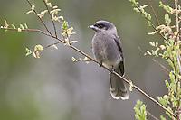 Grey Jays