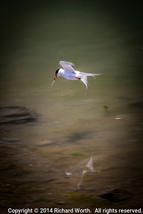 Water streams from the bill of a tern feeding at San Leandro Marina, its ghostly reflection floating below.