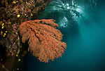 Gorgonian fan coral in the shallows with diver and topside foliage reflecting.