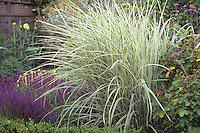Variegated ornamental grass-Miscanthus sinensis in garden