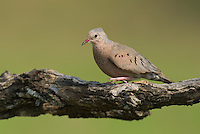 518180053 a wild mourning dove zenaida macroura perches on a large mesquite tree limb in the rio grande valley in south texas