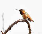 Allen's Hummingbird Male, Descanso Gardens, Southern California
