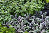 Salvia officinalis sage with mint Mentha, parsley mixture of herbs garden