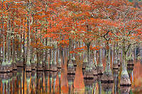 Beautiful fall color on old cypress trees reflected on the calm water of the swamplands just before sunrise.