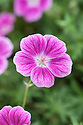 Geranium 'Elke', early July.