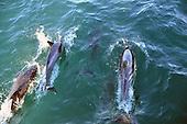Stock Photo of Common Dolphin