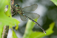 Shadow Darner (Aeshna umbrosa) Dragonfly - Male, Silver Lake Preserve, West Harrison, Westchester County, New York