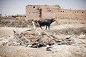 A cow walks in the family courtyard where water caused considerable damage when the flood hit the village. The family was able to save the cow from drowning but lost most of their other possessions. Jamshoro, Pakistan, 2010