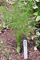 Plant label in front of growing Fennel, Foeniculum vulgare