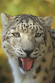 A Snow Leopard face (Panthera uncia), Asia.