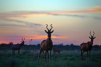 Herd of Red Hartebeest at dusk