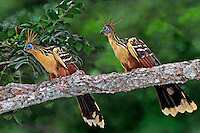 548500005 a wild pair of hoatzins opisthocomus hoatzin peer down from their perch in a tall tree along a river in the llanos area of venezuela