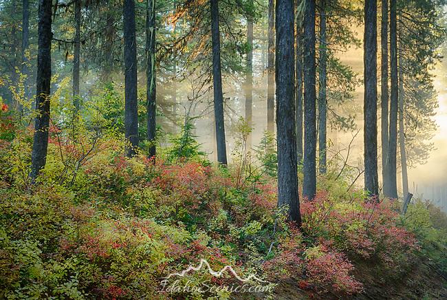 Idaho, North, Kootenai County, Light rays shine through fog and trees above autumn foliage.