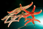 Necklace sea star  (Fromia monilis)