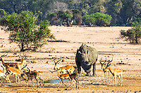 A Rhino sharing the watering hole with a herd of Impala. Up until now I thought an Impala was a Chevrolet.