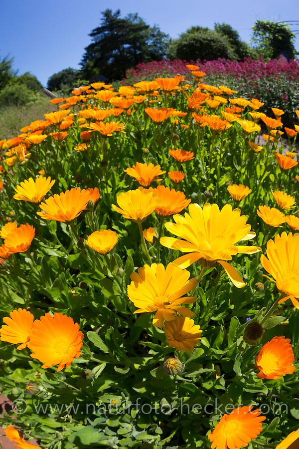 Ringelblume, Garten-Ringelblume, Calendula officinalis, pot marigold, ruddles, common marigold, garden marigold, English marigold, Scottish marigold, Souci, Souci officinal, Souci des jardins, fisheye